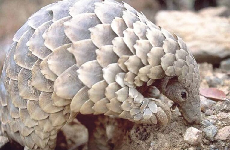 17 Jailed By China For Smuggling $28m Pangolin Scales From Nigeria…